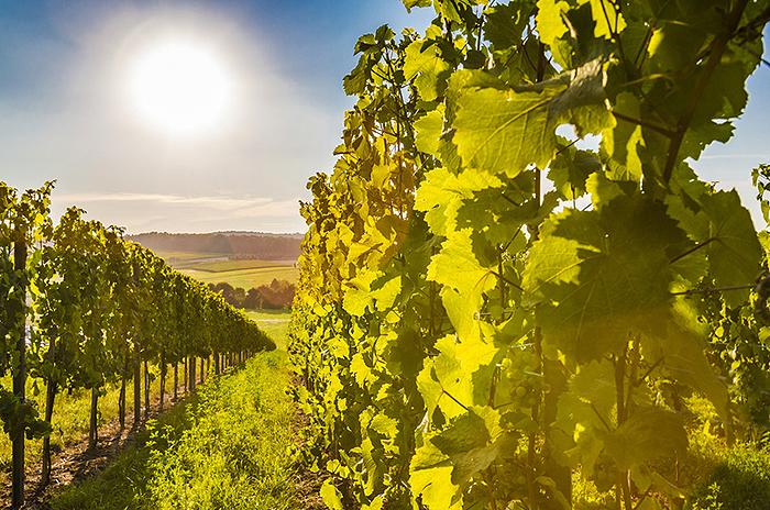 Weinstöcke in der Abendsonne